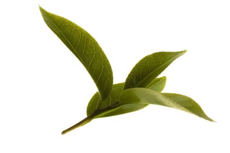 healthy tea: fresh tea branch isoalted on the white background
