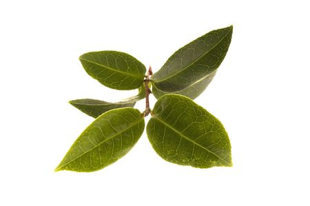 edible leaves: tea branch. fresh leaves isolated on the white background