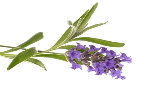 lavender coloured: fresh lavender isolated on the white background. aromatherapy Stock Photo