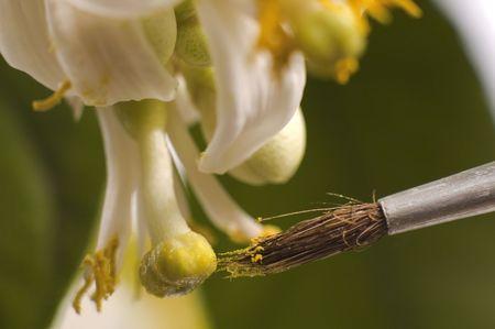 lemon flowers and brush isolated on the white background