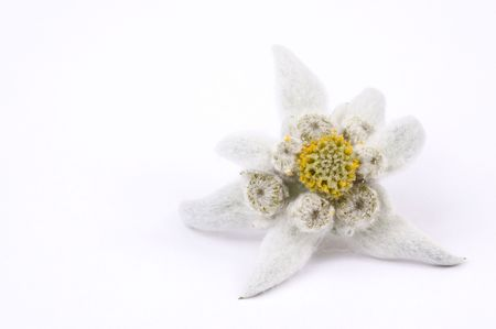 edelweiss Stock Photo - 5228251