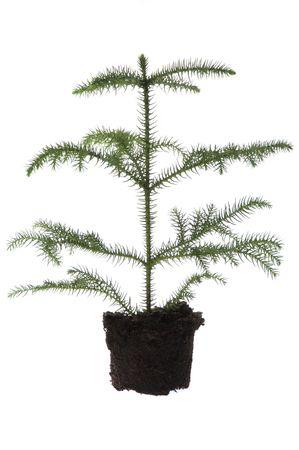 Growing araucaria pine in soil photo