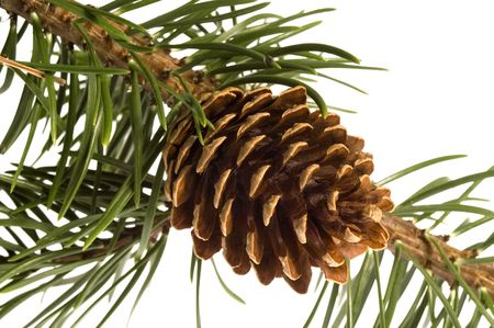 Isolated pine branch with cone photo