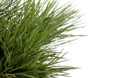 Isolated pine branch photo