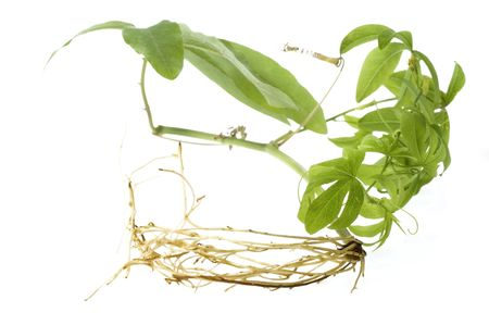 plant with root system photo