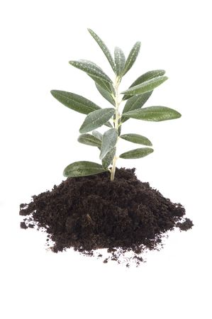 small plant: Growing olive in soil