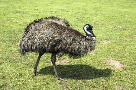 emu: Emu