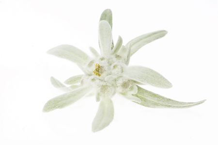 edelweiss photo