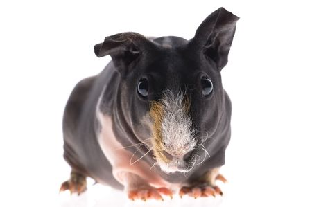 skinny guinea pig on white background photo