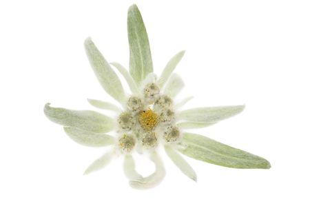 schweiz: edelweiss Stock Photo