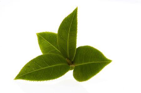 hojas de te: rama de t� fresco aislado en el fondo blanco