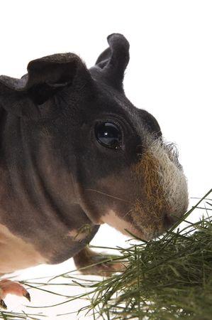skinny guinea pig on white background  photo