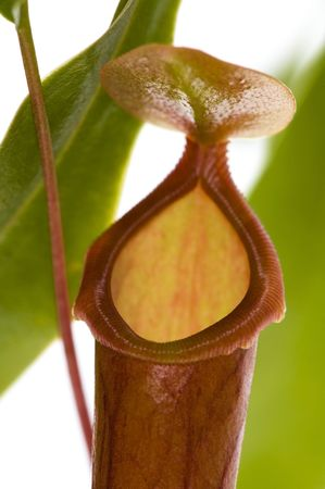 pitfall: Leaves of carnivorous plant - Nepenthes
