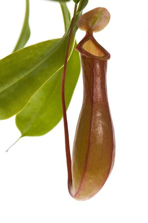 Leaves of carnivorous plant - Nepenthes photo