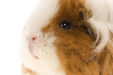 guinea pig isolated on the white background photo