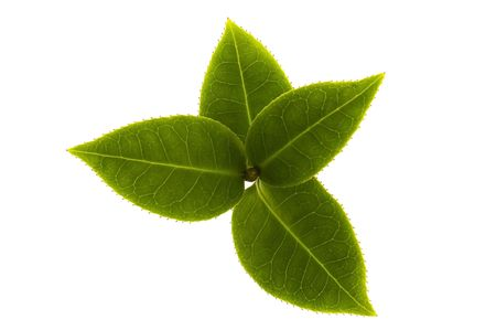 white tea: fresh tea branch isolated on the white background Stock Photo