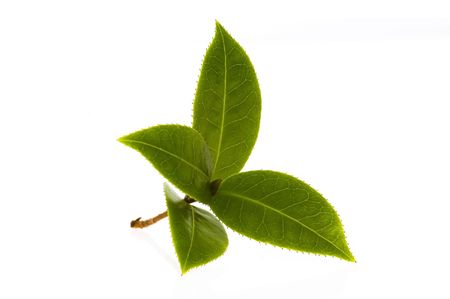 healthy tea: fresh tea branch isolated on the white background Stock Photo