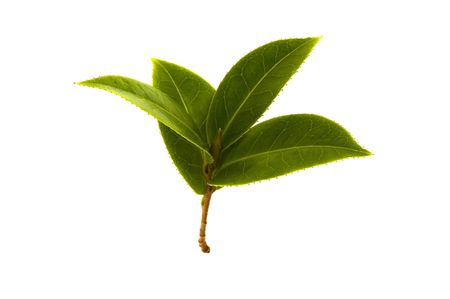 fresh tea branch isolated on the white background Stock Photo