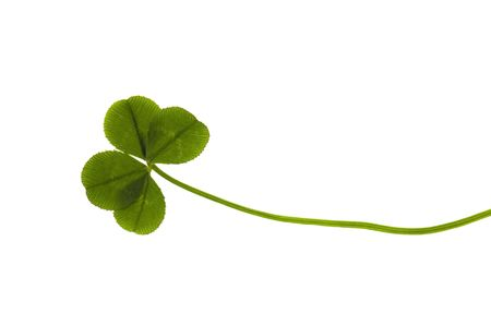 Four Leaf Clover isolated on the white background Stock Photo - 6395410