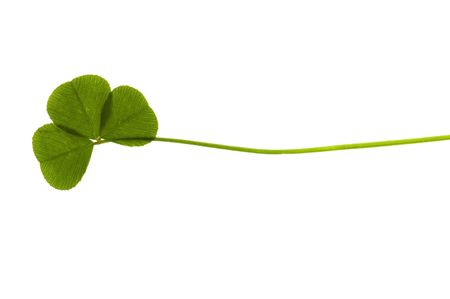 three leafed: Three Leaf Clover isolated on the white background Stock Photo