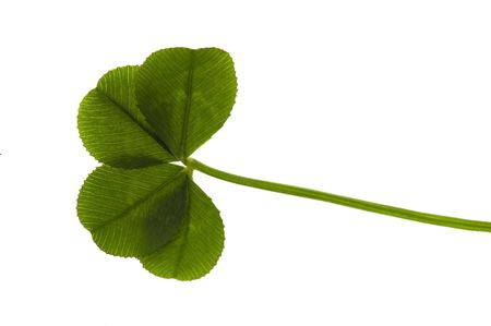 Four Leaf Clover isolated on the white background Stock Photo - 6395414