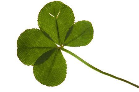 four leaf: Cuatro de hoja de tr�bol, aislado en el fondo blanco