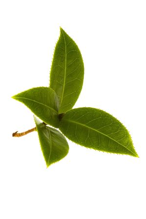 fresh tea leaves photo