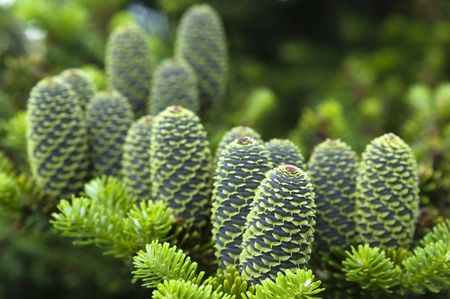 pine branch with cone photo