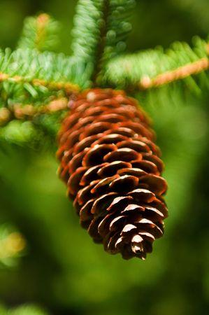 pine branch photo
