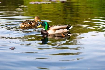 rnanimal: ducks in water of lake
