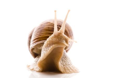 rnanimal: Snail. animal isolated on the white background Stock Photo