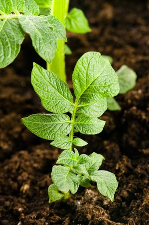 growing potato. baby plant in soil  photo