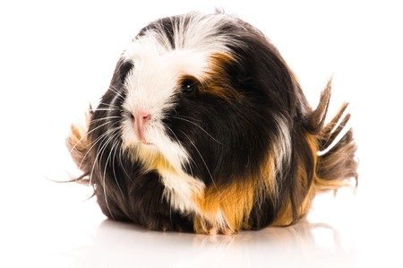 guinea pig isolated on the white background. coronet photo