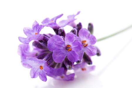fiori di lavanda: fiori di lavanda sullo sfondo bianco