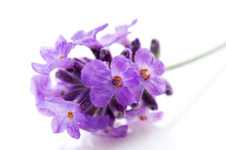 purple flower: lavender flower on the white background