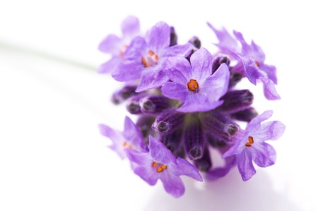 lavender flower on the white background