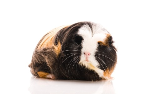 coronet: guinea pig isolated on the white background. coronet