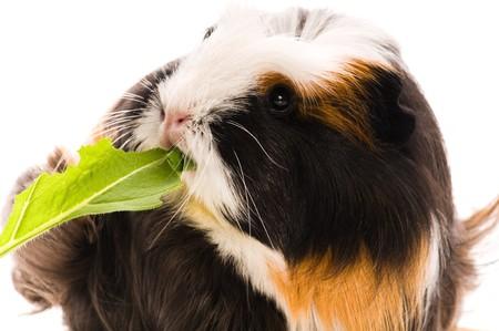 coronet: guinea pig isolated on the white background. coronet