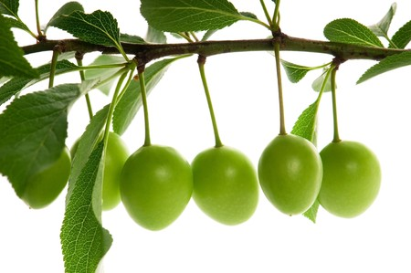 growing green plums isolated on the white photo