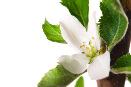 detail of branch Apple tree at spring time  photo