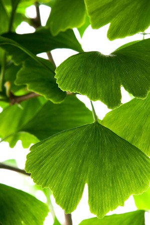 gingko: Ginkgo biloba green leaf isolated on white background  Stock Photo