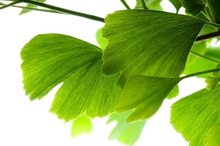 de hierbas: El ginkgo biloba verde hoja aislado sobre fondo blanco