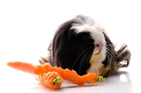 guinea pig with carrots