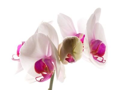 phal: White orchid on white