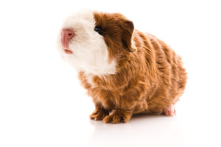 baby guinea pig. texel. isolated on the white  photo