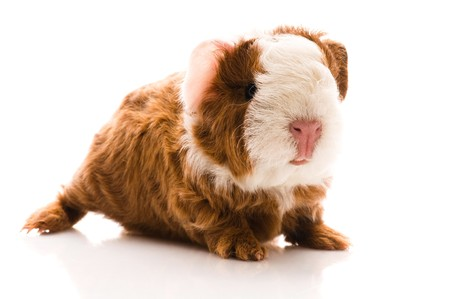 guinea: baby guinea pig. texel. isolated on the white