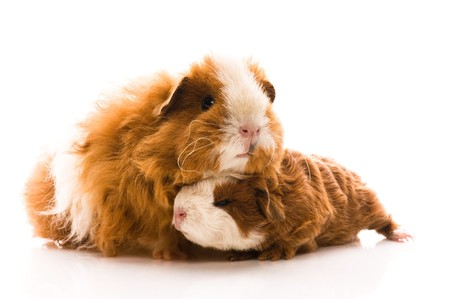 guinea pigs. texel. isolated on the white photo