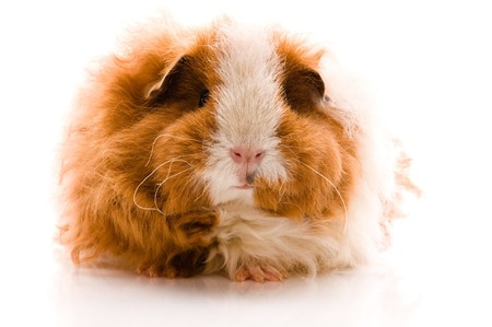 guinea pig. texel. isolated on the white photo