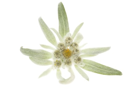 edelweiss Stock Photo - 8689219