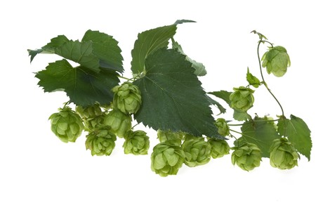 common hop: Detail of hop cone and leaves on white background  Stock Photo